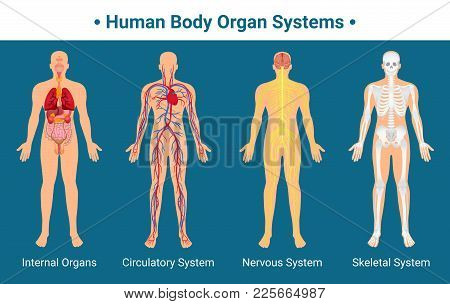 Human body internal organs circulatory nervous and skeletal systems anatomy and physiology flat educative poster vector illustration poster