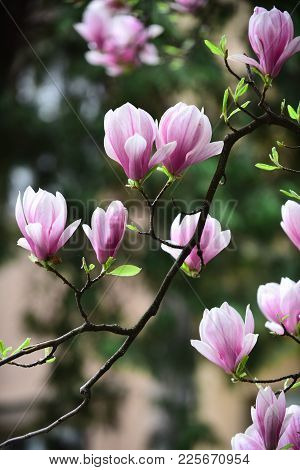 Magnolia Flower Bloom On Blurred Background. Spring Season Concept. Blossom Of Magnolia Tree On Sunn