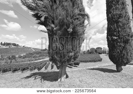 Italian Wine Farm Surrounded With Vineyards And Cypress Trees. Cypress Alley On The Background Of Au