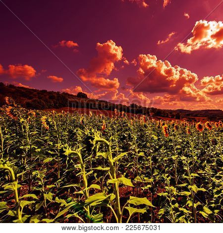 Sunflowers Plantation In Tuscany, Farmland Landscape At Sunset.