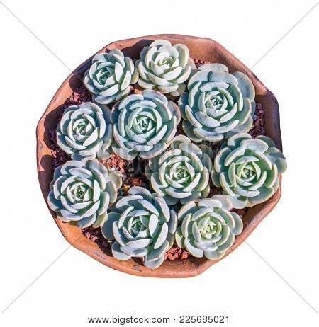 Miniature succulent plants isolated
