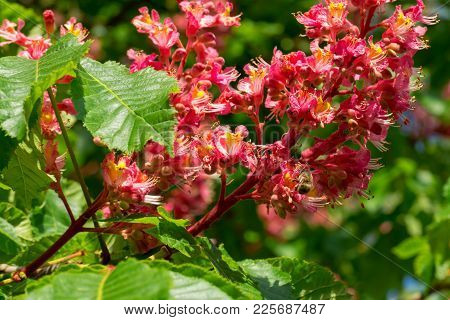 A Honey Bee Pollinating A Flower Of The Red Horse Chestnut Tree