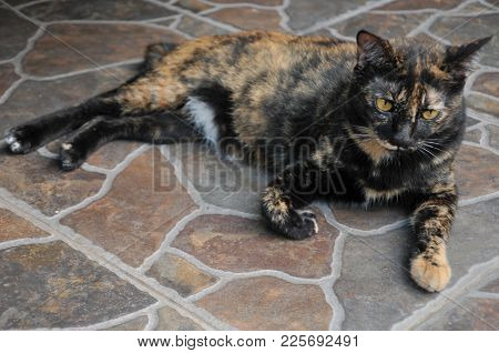 Siamese Cat Sit On The Tile Floor And Looking Something, Pet In House Concept.