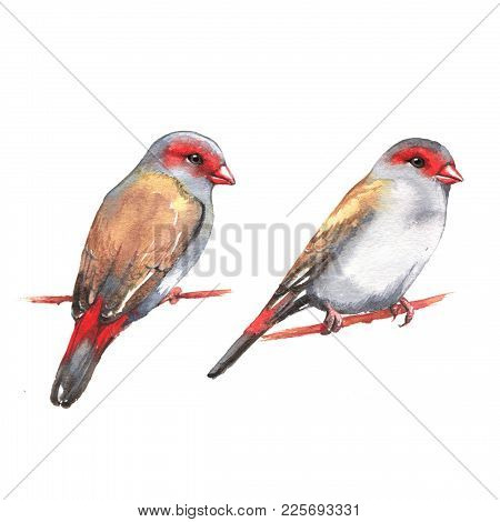 Hand-drawn Watercolor Illustration - A Couple Of  The Red-browed Finches On The Branch. Wild Colorfu