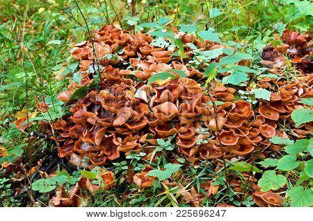 Large Mushrooms Honey Agaric Growing On A Tree