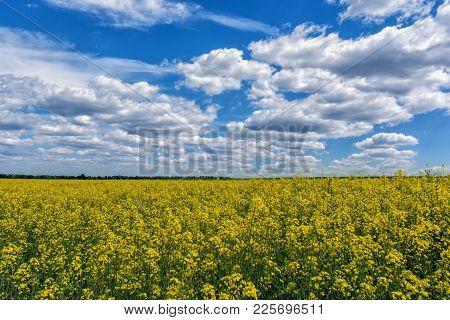 Yellow Oilseed Rape Field Under The Blue Sky With Sun.