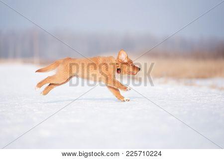 happy toller puppy running outdoors in winter