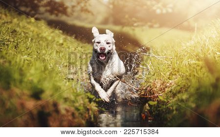 A Beautiful Young Energetic Labrador Retriever Dog Puppy Runs Joyful Through A River