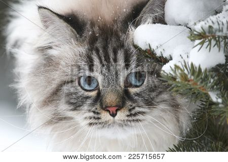Face Of A Big Furry Cat Hunts In The Snow Between The Trees, Pet Care