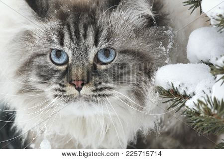 Face Of A Big Furry Cat Hunts In The Snow Between The Trees In Winter, Pet Care