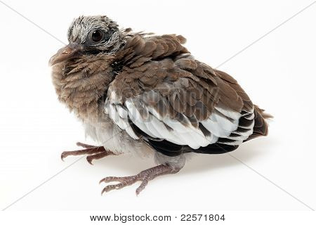 Fledgling Pigeon