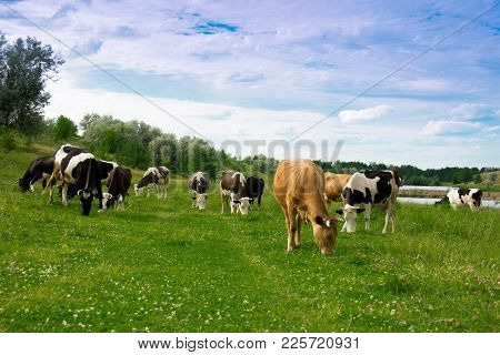A Herd Of Cows Grazing On Green Grass