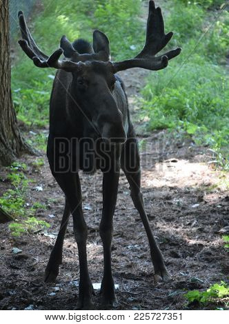 Moose Peeing In A Wooded Clearing In Maine.