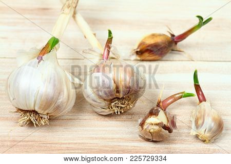Spring. Garlic In The Pantry Is Sprouting Due To Approaching Spring. Garlic Bulbs And Cloves  With S