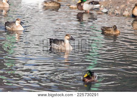 Ducks In A Lake In Nature . In The Park In Nature