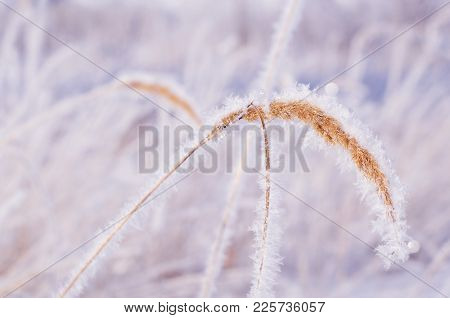 The Grass In The Frost. Mild Winter Sunlight. The Concept Of A Real Snow Winter, Fresh Air, Frost