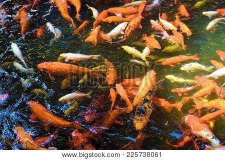 Koi Fish At A Pond Taken In A Zen Meditation Garden