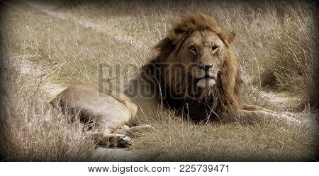 Lion In The African Sabana Of Tanzania