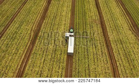 Aerial View Rows Of Green Salad Grown In Agricultural Field. Lettuce Field. Machine Conveyor Belt Sy