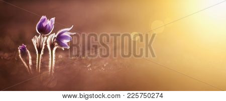 Spring Forward, Springtime Concept - Purple Flowers And Golden Light, Web Banner And Greeting Card B