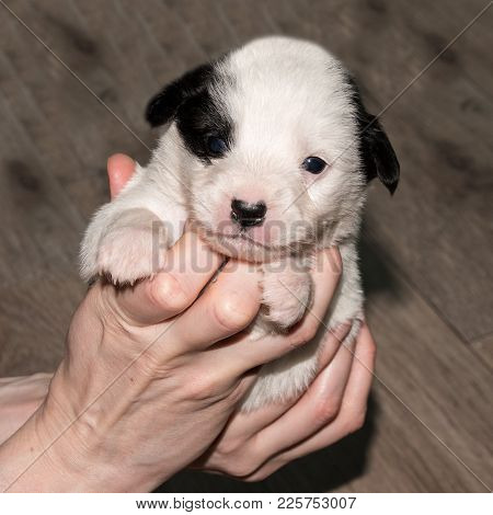 Very Cute White-black Puppies. Beautiful Puppies. Little Puppies.