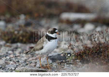 Adult Semipalmated Plover, Charadrius Semipalmatus, Standing On Rocky Arctic Tundra With Plants In T