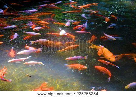 Koi Fish Swimming At A Pond Taken In A Residential Zen Mediation Garden