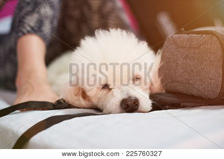 People Slepping With Dog In Bed. Sleeping In Travel With Friend Dog
