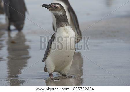 Young Magellanic Penguin (spheniscus Magellanicus) On Bleaker Island In The Falkland Islands.