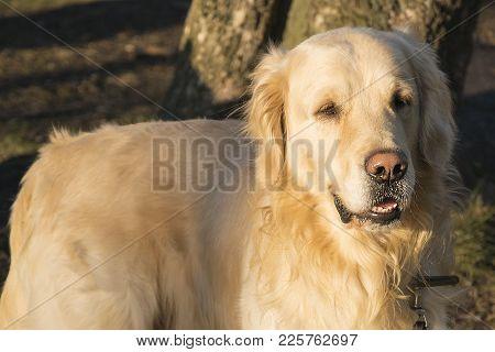 Golden Retriever Dog Walking Outdoos. Beautiful Animal Closeup Portrait Over Natural Background. Adu