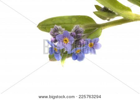 Beautiful Summer Forget-me-not Flower On A White Background