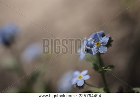 Beautiful Delicate Forget-me-not Flower Growing In Summer Forest