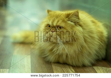 Thoroughbred Pedigree Cat Persian Colorpoint Breed With Red Color And Very Important Look Lazy And F