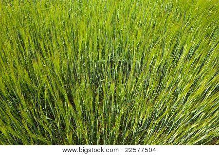 Green Spring Wheat