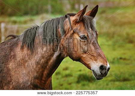 Portrait Of Chestnut Horse On The Green Background