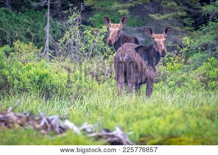Two Juvenile Bull Moose On The Shore Of The Lake. Ontario, Canada.