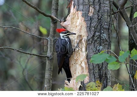 A Redheaded Pileated Woodpecker Looking To Penetrate This Tree.
