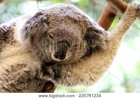 A Koala Sleeping In A Tree On A Hot Day.