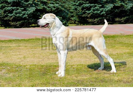 Central Asian Shepherd Dog Profile.  Central Asian Shepherd Dog Stands On The Grass In The Park.