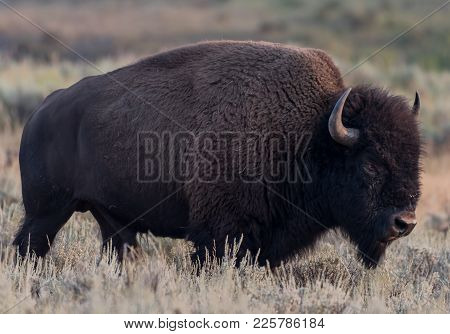 American Buffalo Walks Through Field In Late Summer