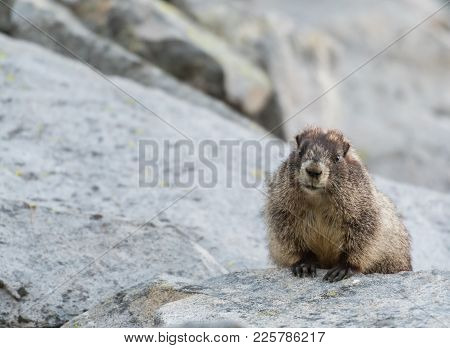 Chubby Marmot Peeks Over Rock With Copy Space To Left