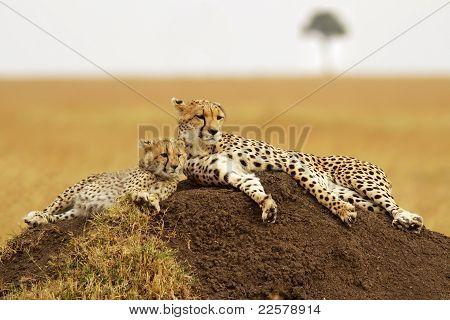 Masai Mara-Geparden