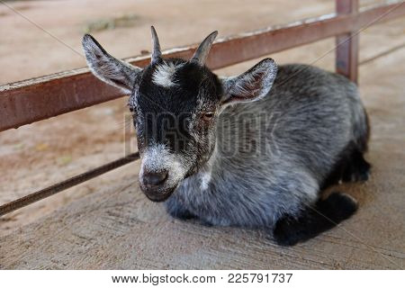 Young Black And White Goat Sitting And Looking At The Camera On Cement Ground In Farm