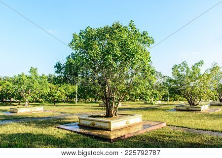Photo Of Young Banyan Trees In The Park