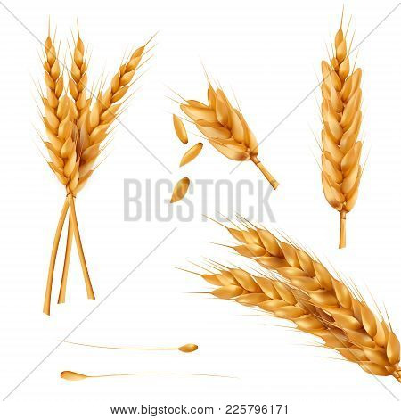 Set Of Illustrations Of Wheat Spikelets, Grains, Sheaves Of Wheat Isolated On White Background. Temp