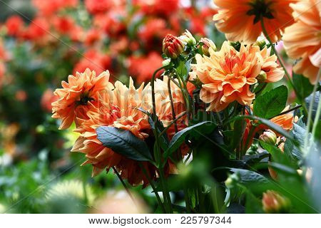 In The Foreground Dahlias Of Salmon Color, On A Background Dahlias Of Red Color.