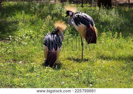 Two Grey Crowned Crane (balearica Regulorum)