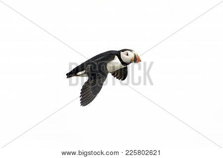 Atlantic Puffin In Flight, White Background Isolated. The Clown Faced Bird. Newfoundland, Canada. Sl