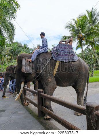 Mahout With Sumatran Elephant