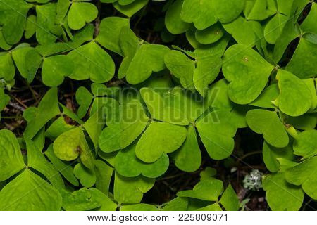 Common Wood Sorrel Oxalis Acetosella Leaves Texture Macro, Selective Focus, Shallow Dof.